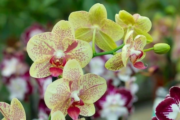 온실 또는 열 대 정원 클로즈업에 노란 난초 꽃의 분 지