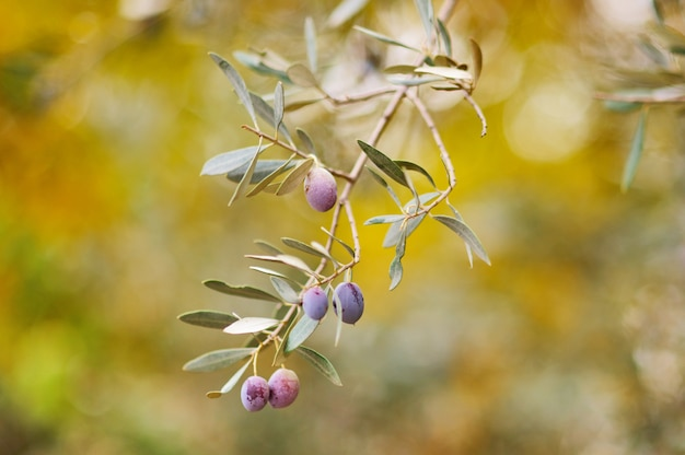 Branch of olive tree with fruits and leaves,