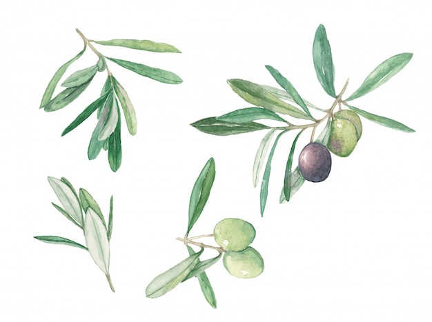 Branch olives with fruits and leaves set watercolor illustration