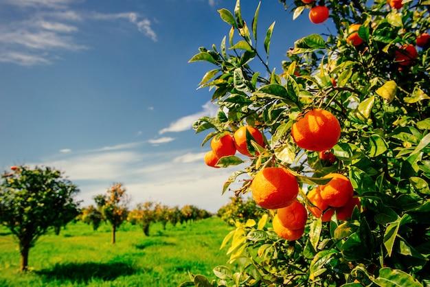 Ветка апельсинового дерева.