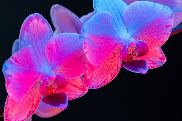 Branch of orchid flowers on dark background in neon light