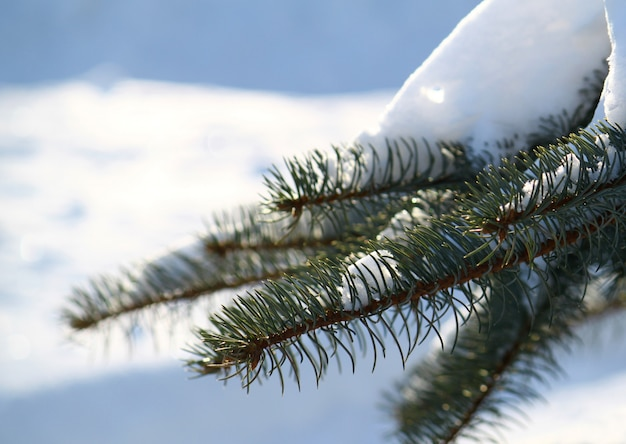 Branch of pine under a snow