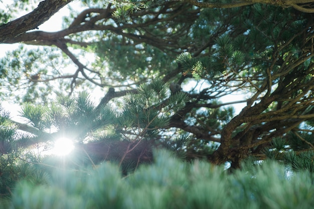 Branch of pine tree with light on blue sky
