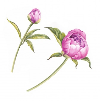 Branch of pink peonies isolated for design