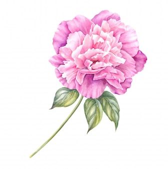 Branch of pink peony isolated for your spring design.