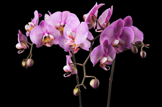 Branch of pink phalaenopsis or moth orchid from family orchidaceae isolated on black background with clipping path