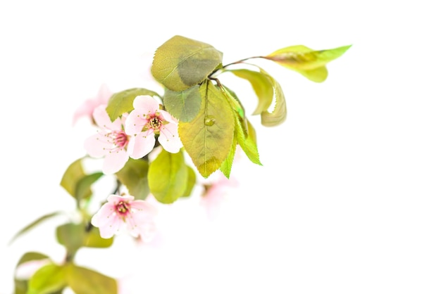 Branch of pink plum flowers with green leaves isolated on white background