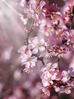 Branch of pink spring tree blossom over blurred background,soft focus
