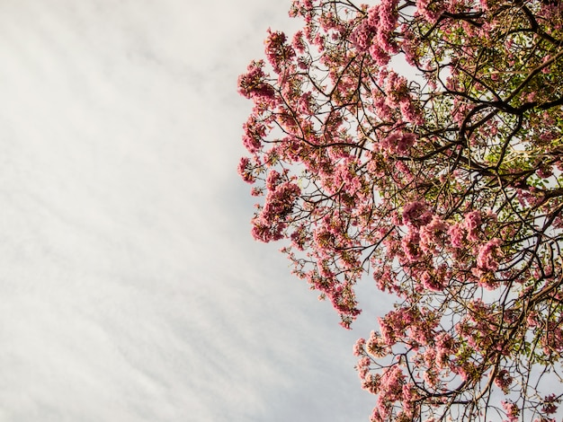 Branch of pink trumpet tree on sky background