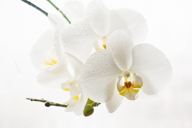 Branch of pure white orchid in drops on white