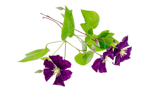 Branch of purple clematis with green leaves isolated on white .