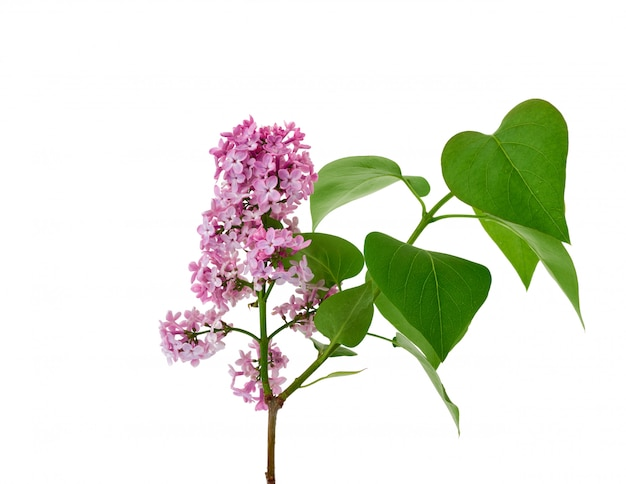 Branch of purple lilac with flowers and green leaves isolated on white background