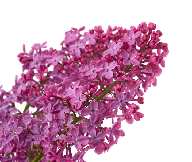 Branch of purple lilac with flowers isolated on white background