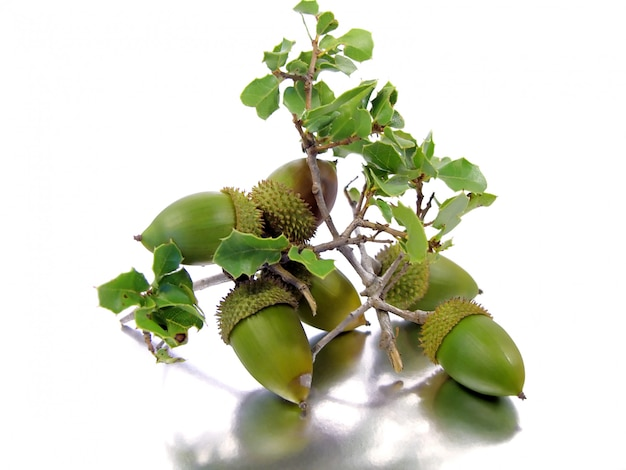 Branch of a quercus coccifera (oak tree) with several acorns isolated on a silver-white background.