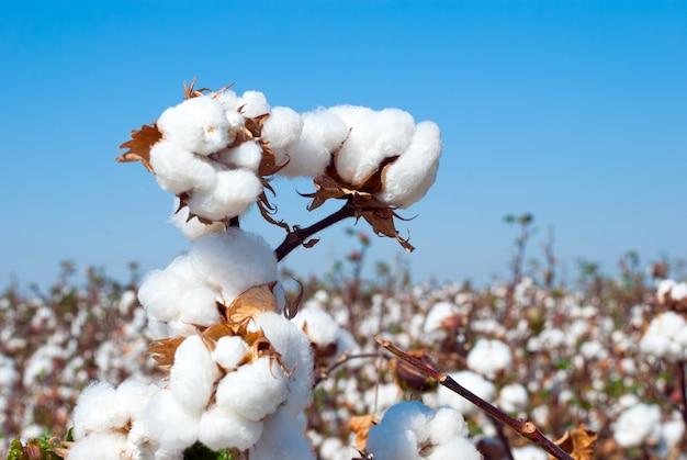 Branch of ripe cotton on cotton field, uzbekistan