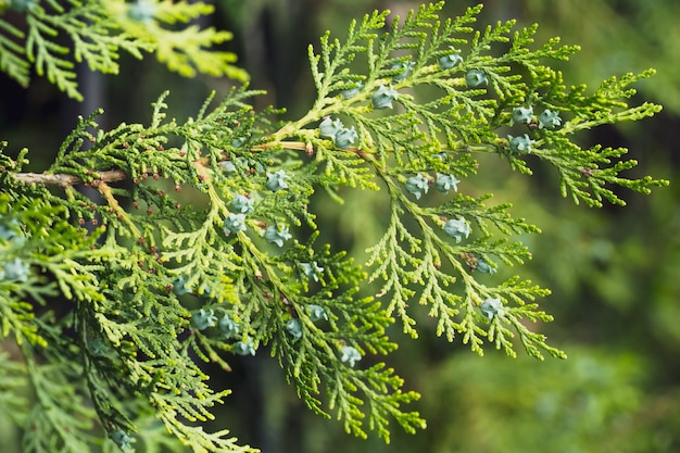 Branch of thuja occidentalis. evergreen fir-tree background. nature wallpaper.