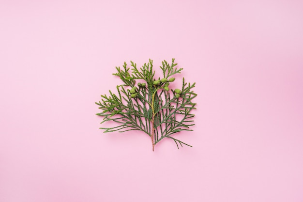 Branch thuja on pink background with copy space.