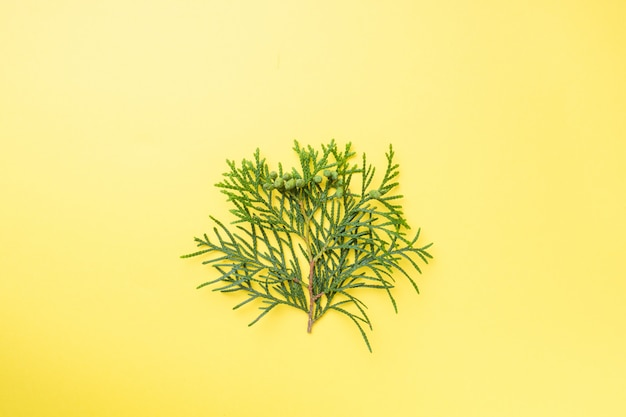 Branch thuja on yellow background with copy space.