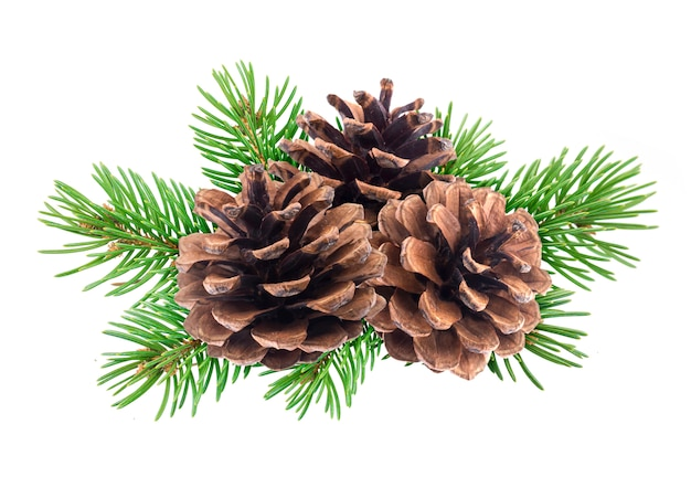 Branch of tree with pine cones isolated on white