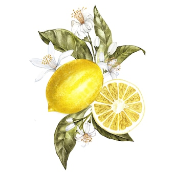 Branch of watercolor lemon tree with leaves, yellow lemons and flowers