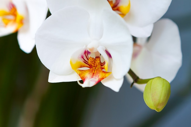 Branch of white large-flowered orchid with buds in a beautiful style on a blurred background.