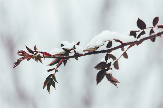 The branch of wild rose with thorns and red leaves in the snow in the winter. close-up, selective focus. tinted photo