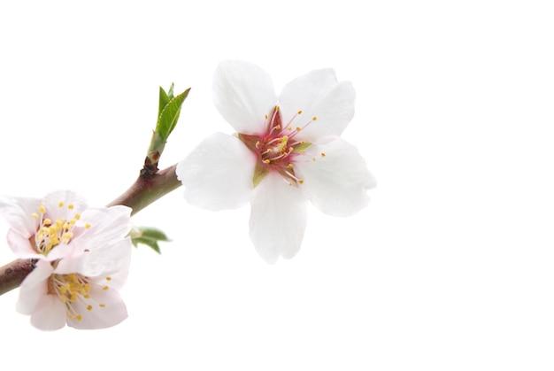 白い背景で隔離のアーモンド白い花とブランチ