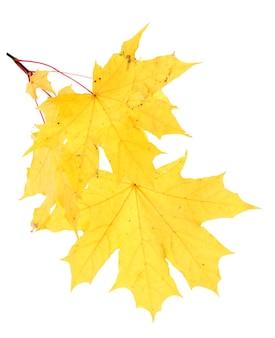 白で隔離される秋のカエデの葉を持つブランチ
