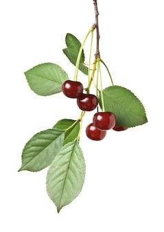 白い背景で隔離の果実チェリーと枝