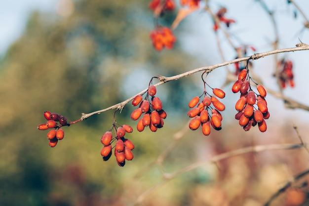 Ветка с ягодами барбариса в осеннем саду