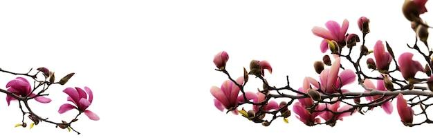咲くモクレンの芽と枝白い背景で隔離写真を閉じる