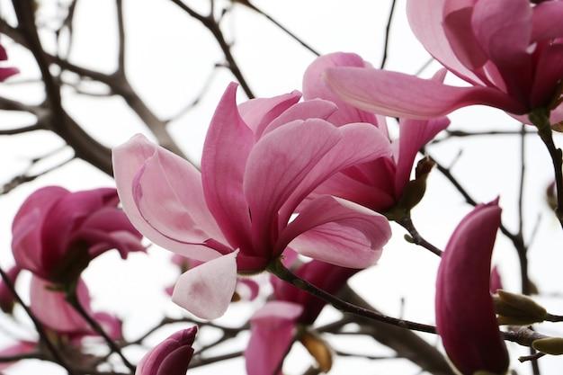 목련 꽃이 만발한 가지가지에 여러 꽃 머리 클로즈업 사진