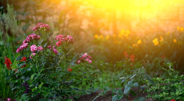 Branch with blooming pink rose buds and green leaves, the lights of a sun