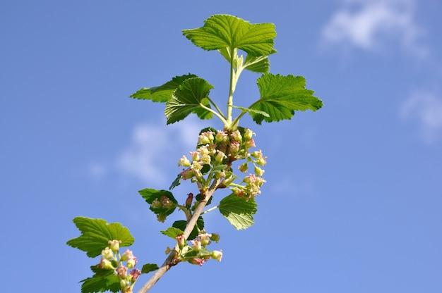 배경 푸른 하늘에 꽃 건포도와 지점입니다.