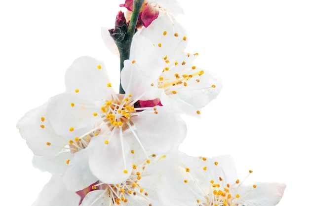 Ветка с цветами. изолированные на белом фоне.