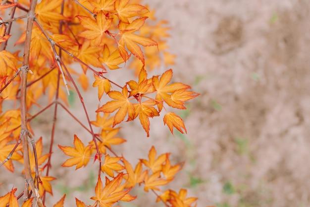 Branch with bright orange autumn leaves. autumn concept.