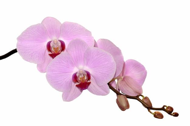 꽃 분홍색 난초와 지점입니다.