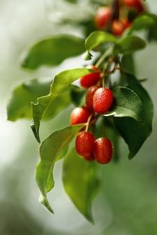 신선한 익은 구기 열매와 함께 지점. 슈퍼 과일