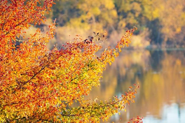 Ветка с золотыми и оранжевыми осенними листьями над рекой с чистой водой