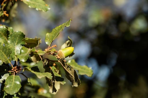 Ветка с зелеными желудями на пастбище на дереве дуб каменный дуб пробковый дуб галловый дуб иберийский желудь