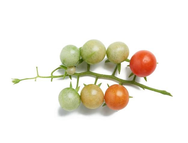 체리 토마토의 녹색과 빨간색 과일 지점