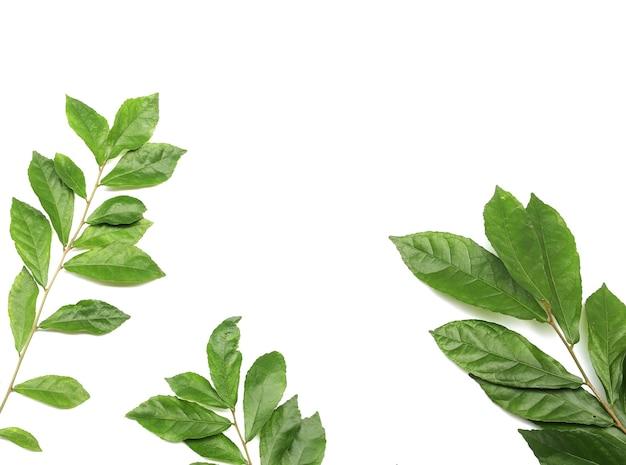 흰색 배경에 고립 된 녹색 신선한 단풍 잎 지점