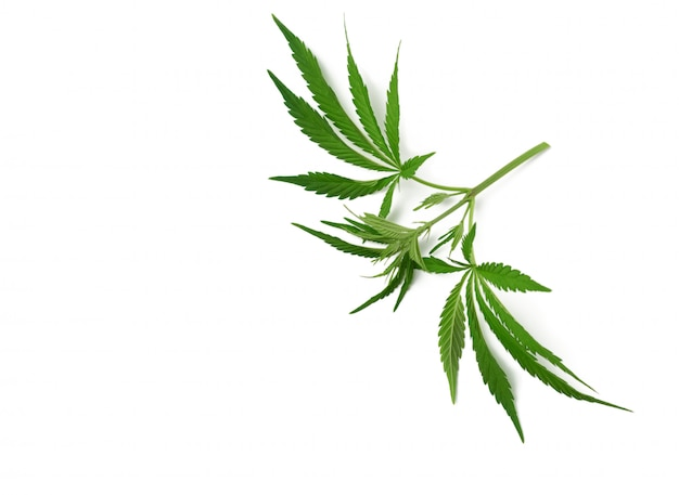 Branch with green leaves of hemp is isolated on a white background