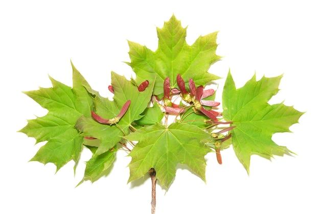 白で隔離される緑の葉を持つ枝