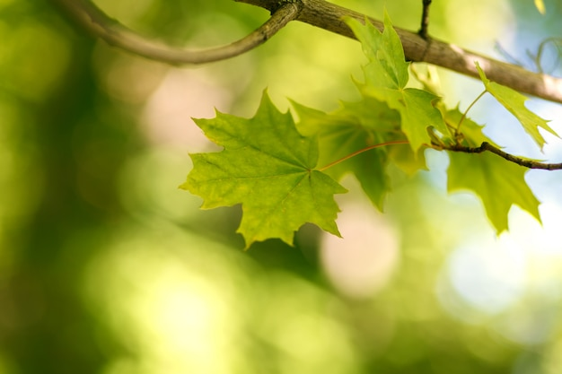 Branch with green maple leaves