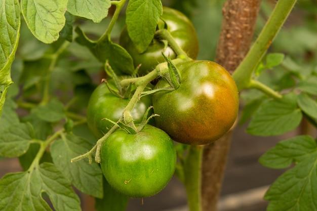 緑の未熟トマト果実の枝