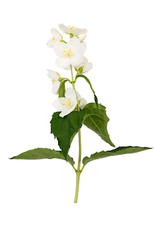 Ветвь с цветами и листьями жасмина, изолированными на белой поверхности.