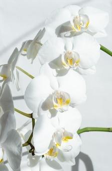 백색 난초의 큰 색깔을 가진 지점