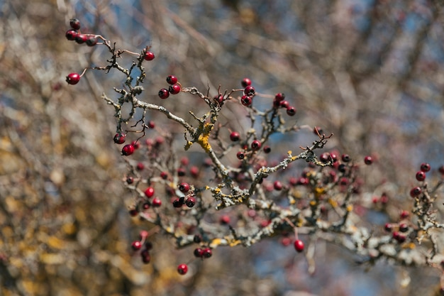 Branch with little red berries
