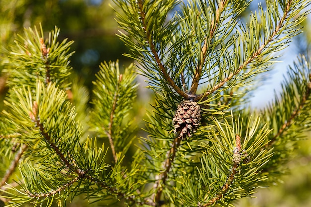 Branch with pinecone